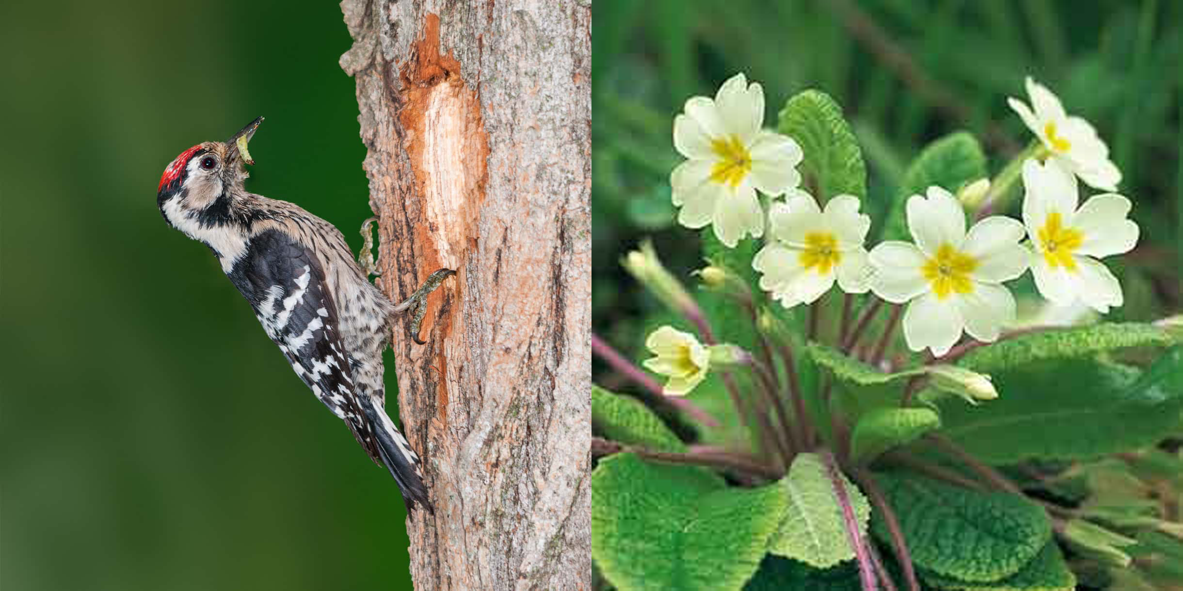 Woodpecker and Primroses
